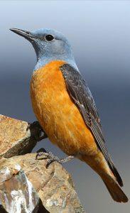 Oiseau montagnard, le Monticole de Roche se reproduit également sur les Opies