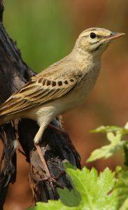 Pipit rousseline : des teintes très claires pour cet oiseau qui niche au sol.