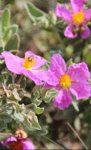 La garrigue est constituée d'arbustes et de broussailles adaptés à la sécheresse. (Ciste cotonneux - Cistus albidus)