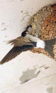 Des enquêtes participatives font appel aux citoyens afin de recenser des nids occupés d'hirondelles