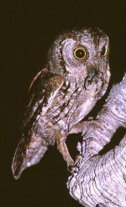 Il existe très peu de données de cette espèce malgré la présence d'habitats favorables.
