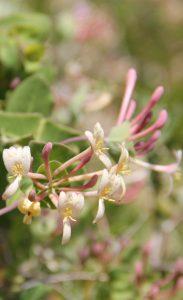 Sous les chênaies et les pinèdes, le sous-bois est composé d'arbustes comme le pistachier, le Cornouiller sanguin et de lianes comme la Garance voyageuse, l'Asperge ou le Lierre.