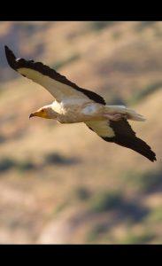 Ces zones constituent également l'habitat des oiseaux rupestres où ils trouvent des lieux propices à leur nidification. (Vautour percnoptère)