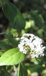 Laurier tin (Viburnum tinus) : ses baies sont une bonne source de nourriture pour les oiseaux et il est facile de l'acclimater au jardin
