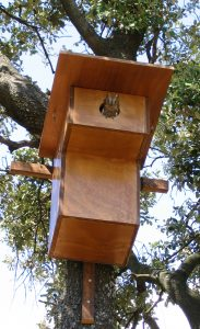 Les jeunes petits-ducs scops sortent du nid dans l'été : il ne faut pas les ramasser !