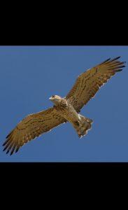 Les oiseaux exploitent les arbustes des garrigues pour nidifier, chasser et se mettre à l'abri des prédateurs. Ce milieu constitue également un excellent terrain de chasse pour les rapaces comme le Circaète Jean-le-Blanc