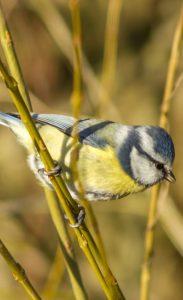 Dans les jardins et les parcs écoutez les chants des oiseaux comme la Mésange bleue qui est facile à observer