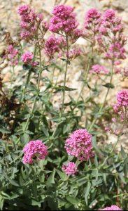 Valériane rouge (Centranthus ruber)