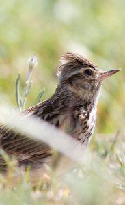 Alouette lulu : des teintes très claires pour cet oiseau qui niche au sol.