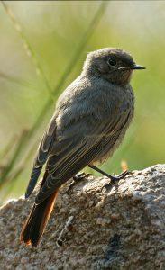 Un jeune Rougequeue fraichement sorti du nid : une scène facile à observer dans tous nos villages
